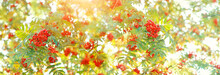 Red Rowan Berries. Bright Ripe Rowan Berries On Nature Autumn Background. Fall Season Concept. Harvest Time. Banner. Copy Space