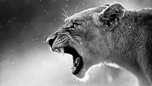Wild Lion With Open Mouth