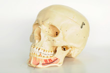 Anatomy Of Human Skull Model