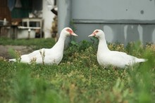 Two White Big Ducks With Red Eyes On The Grass