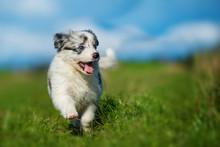 Cute Border Collie Puppy In A ...