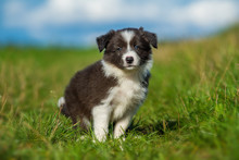Cute Border Collie Puppy In A ...
