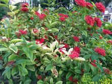 Cluster Of Beautiful Red Chinese Ixora (ixora Chinensis)