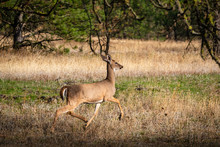Eluding White-tailed Deer