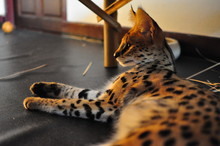 Pet Serval Cat (Leptailurus Serval).