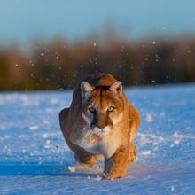 Cougar (Puma Concolor), Also C...