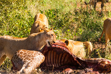 A Pride Of Lions Feeding On A ...