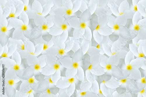 Poster Plumeria white plumeria flower pattern background