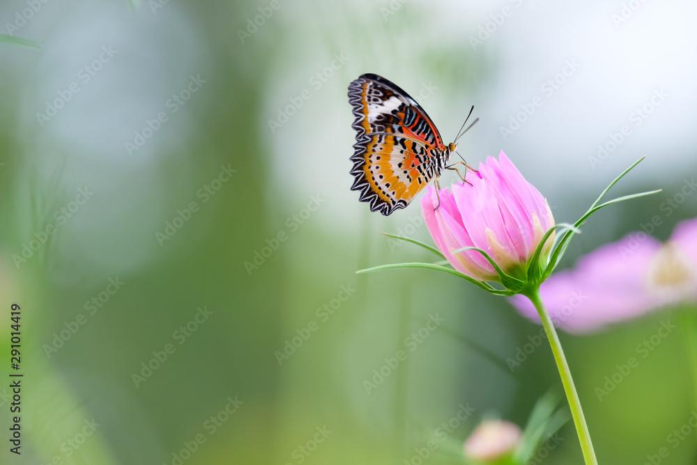 Fototapeta Monarch butterfly seeking nectar on a flower