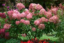 Bush Of A Hydrangea Paniculata...
