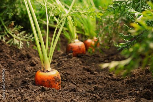 Poster Vegetal Ripe carrots growing on field. Organic farming