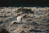Golden Retriever dog running on heathland