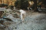 Full length view of cute dog running towards camera