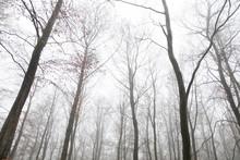 Tall Slender Bare Trees Lookin...