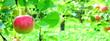 canvas print picture - Hintergrund Apfelwiese mit roten saftigen Äpfeln - Textur - Banner