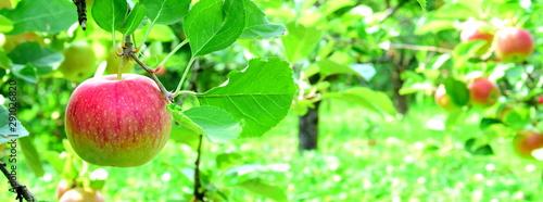 Fototapeta  Hintergrund Apfelwiese mit roten saftigen Äpfeln - Textur - Banner