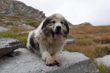 Portrait Of A Sheepdog In The Mountains In France