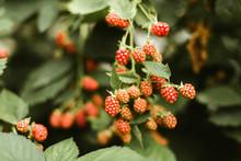 Fresh Blackberries On A Branch In The Garden.