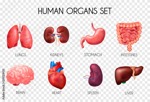 Fotografia  Realistic Human Internal Organs Transparent Icon Set