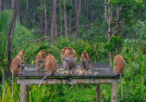 Photo Proboscis monkeys