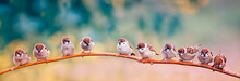 Many Small Sparrow Chicks Sitting On A Branch In A Sunny Spring Park On The Panorama