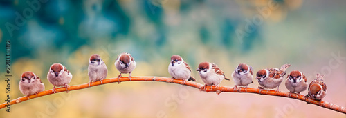 obraz dibond many small Sparrow Chicks sitting on a branch in a Sunny spring Park on the panorama