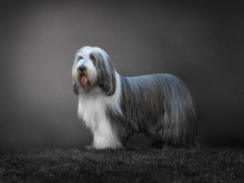 Portrait Of A  Bearded Collie ...