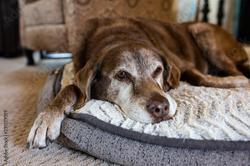 Old dog comfortable on dog bed