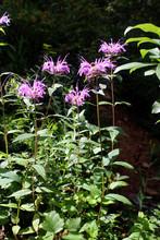 Purple Horsemint Wildflowers, ...