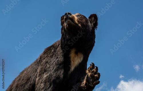 The stuffed big black bear as wild animal in view Tablou Canvas