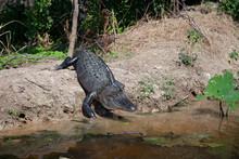 An American Alligator On The B...