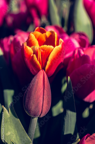 Beautiful tulips flower in tulip field in spring