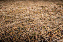 Pine Trees Needles In The Ground