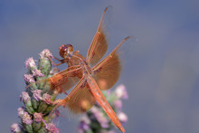 Flame Skimmer Dragonfly Perche...