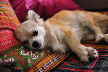 Cute Domestic White Chihuahua Dog Lying On Couch.