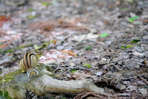 Fototapety, obrazy: 森とシマリス
