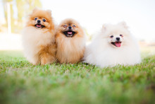 Three Zverg Spitz Pomeranian Puppies Sitting On Grass