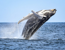 A Humpback Whale Breaches With...