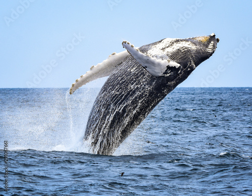 Fotografija A humpback whale breaches with a twist as he begins his fall back to the ocean