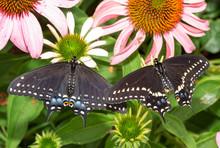 Two Eastern Black Swallowtail ...