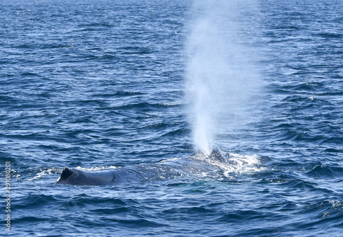 Fototapeta  A Humpback whale surfaces, opens its blowhole and explosively exhales a spout of misty air and vapor