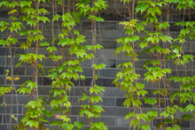 The Blue Brick Flies In The Green Boston Ivy Leaf On The Wall