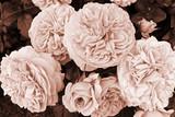 Kwiatostan róży Chippendale w sepii - 291092216