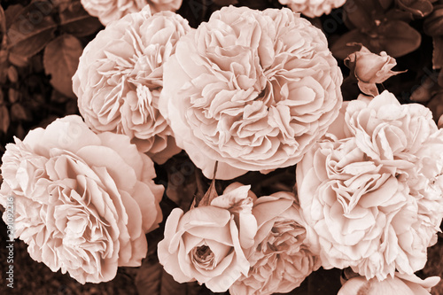 Fotomural  Chippendale rose inflorescence in sepia