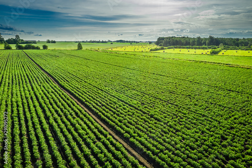 Aerial view of green potato field in summer day, Poland