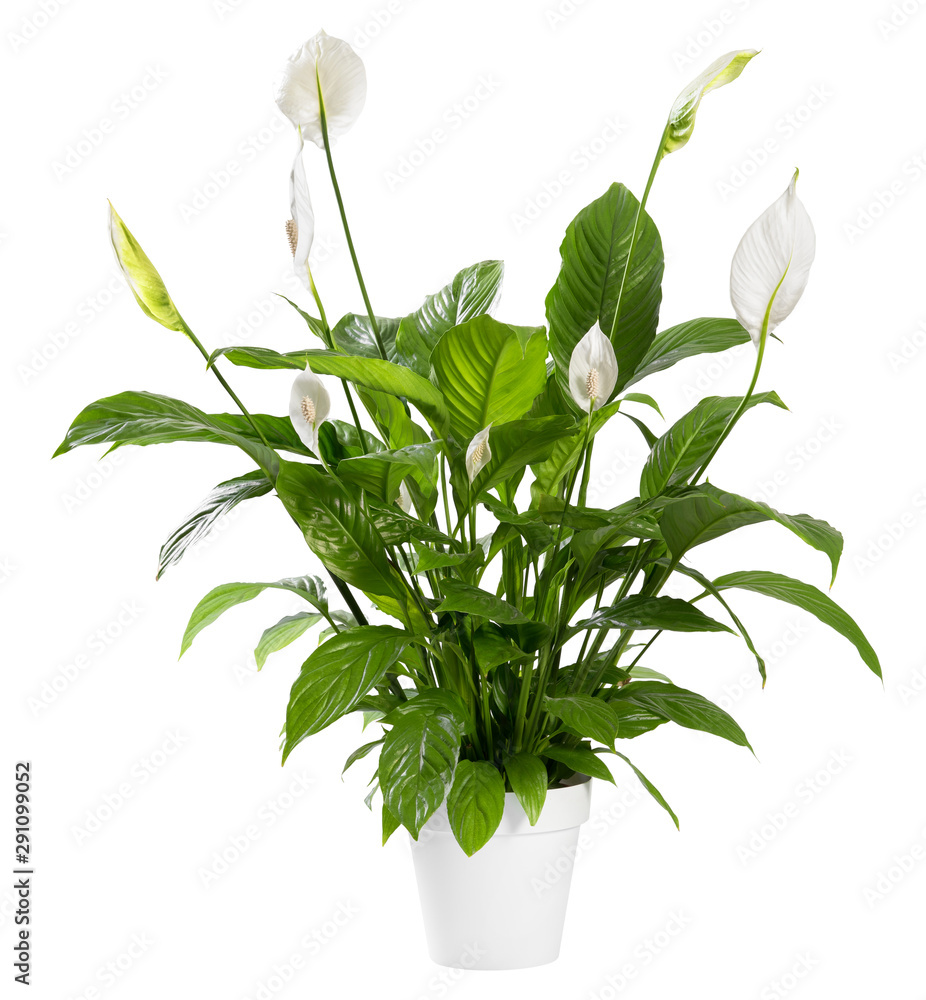 Fototapeta Potted Spathiphyllum plant with white flowers