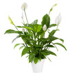 canvas print picture - Potted Spathiphyllum plant with white flowers