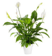 Potted Spathiphyllum Plant Wit...