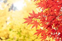 赤黄に色ずいた紅葉の...