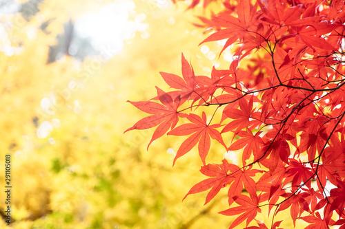 Photo 赤黄に色ずいた紅葉の葉
